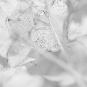 Hydrangea - 3 -