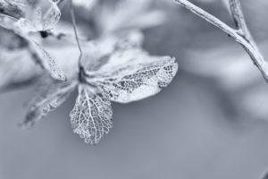Hydrangea - 2 -