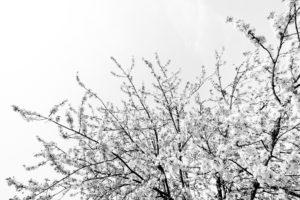 Cerisiers en fleur - 10