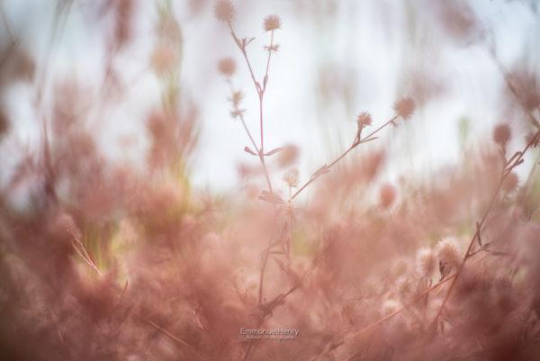 Rêve en Rose