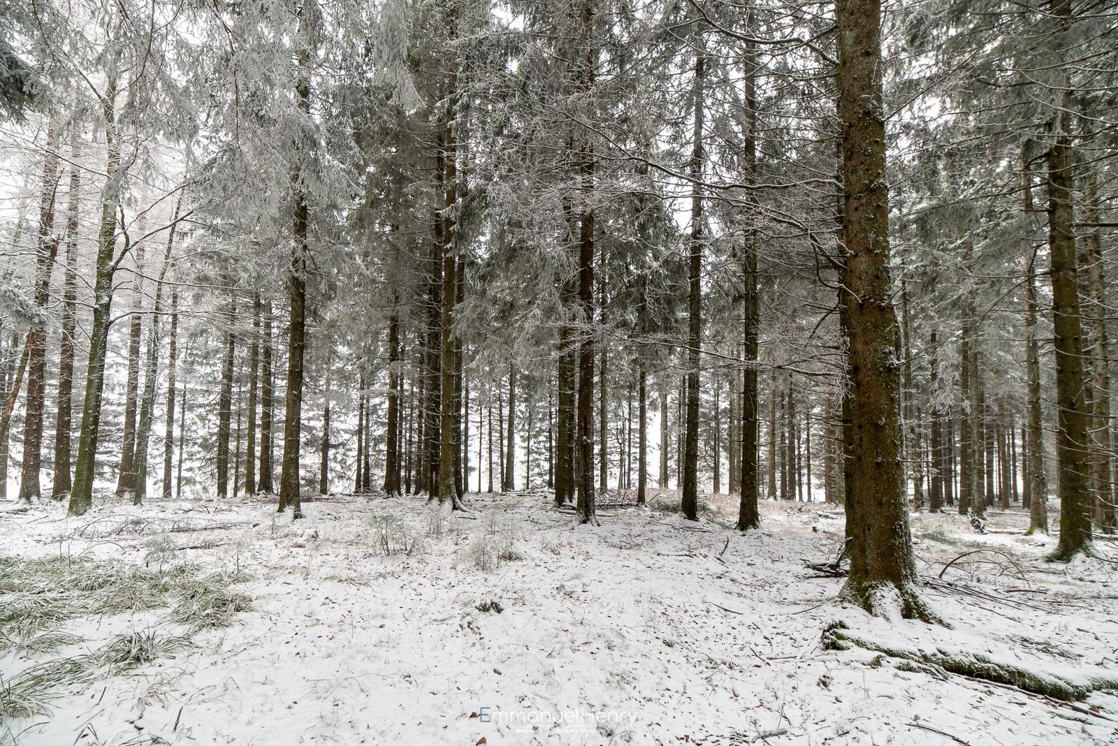 Première neige en forêt