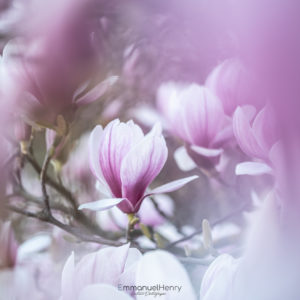 Magnolia en fleurs - 03